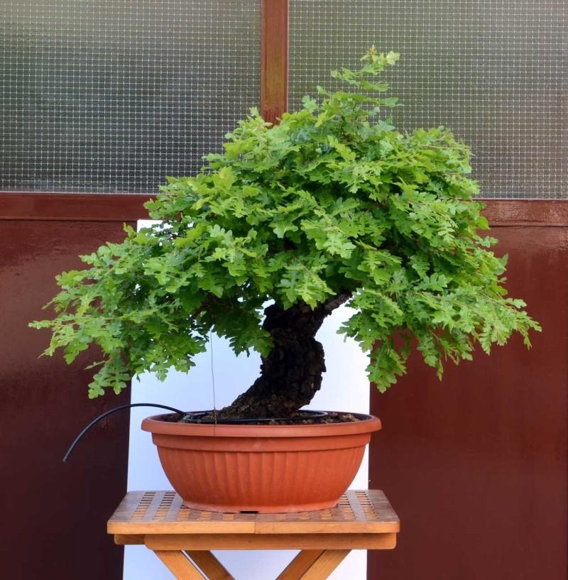 Quercus cerris - Pagina 6 Cerro-11