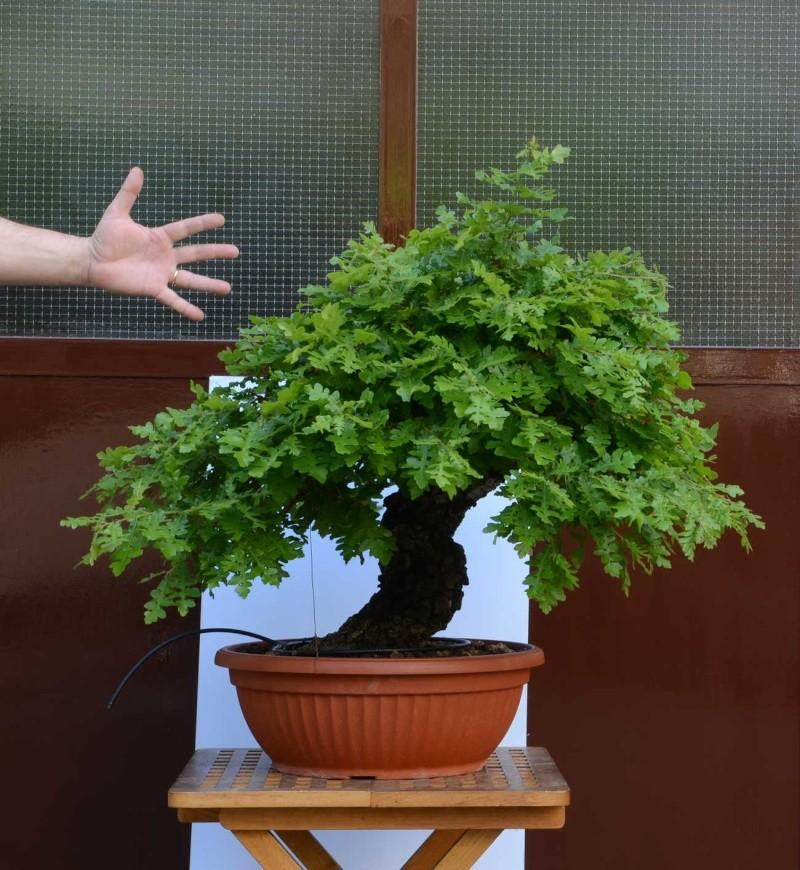 Quercus cerris - Pagina 6 Cerro-12