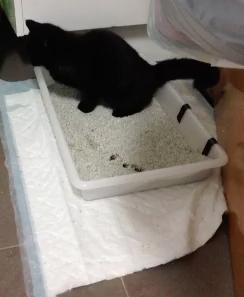 Yoda (ahora Ney), a los gatos de raza también los abandonan Segund10