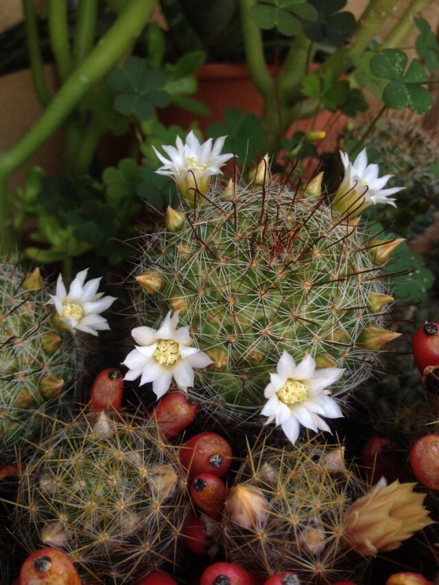 Mammillaria for ID - clumping, white blooms, hooked spines Image10