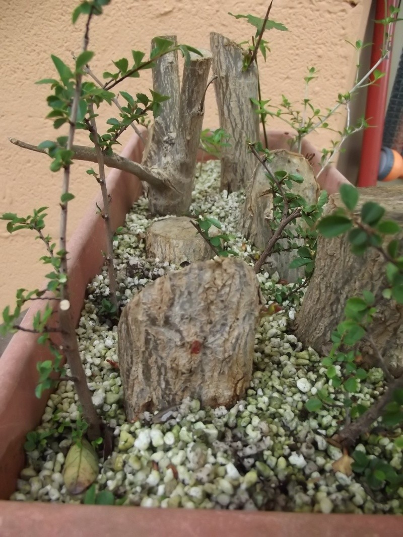 Talee legnose invernali (Giornata da eskimo e doposci) - Pagina 4 Mel110
