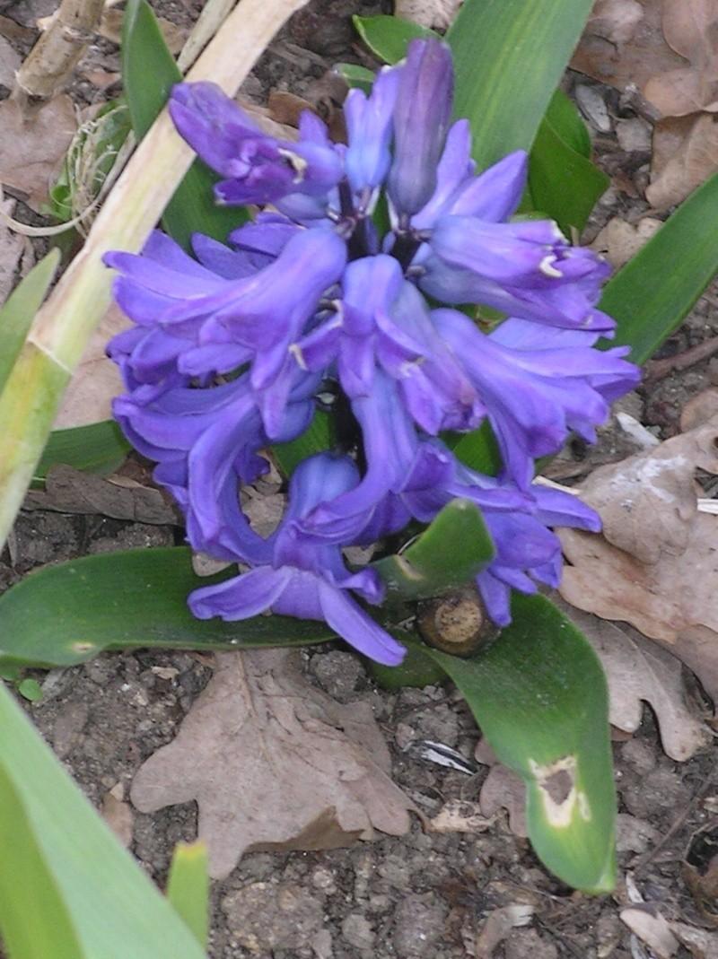Jacinthe , Hyacinthus - Page 6 Imgp0038