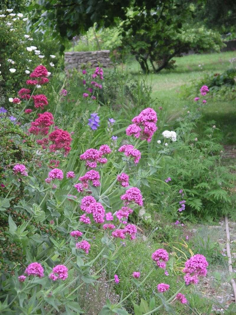plante courante fleur rouge Centranthus ruber ou valeriane  Imgp0236