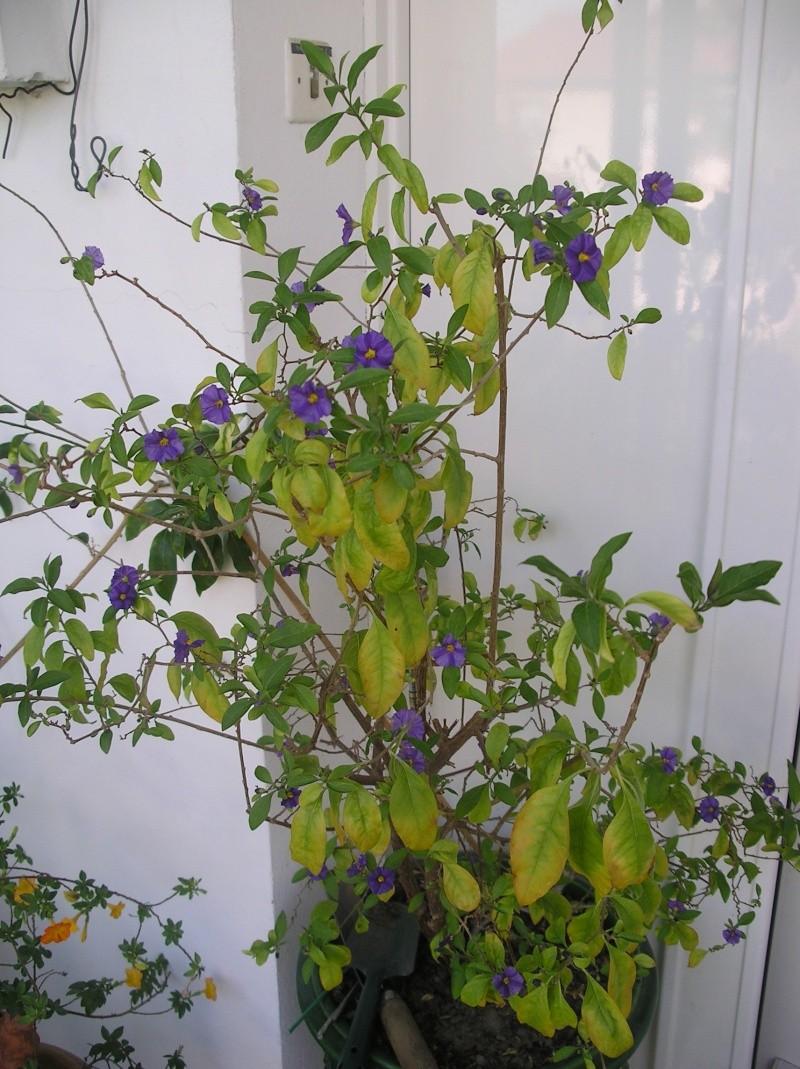 Solanum rantonetti - Page 5 Imgp0249