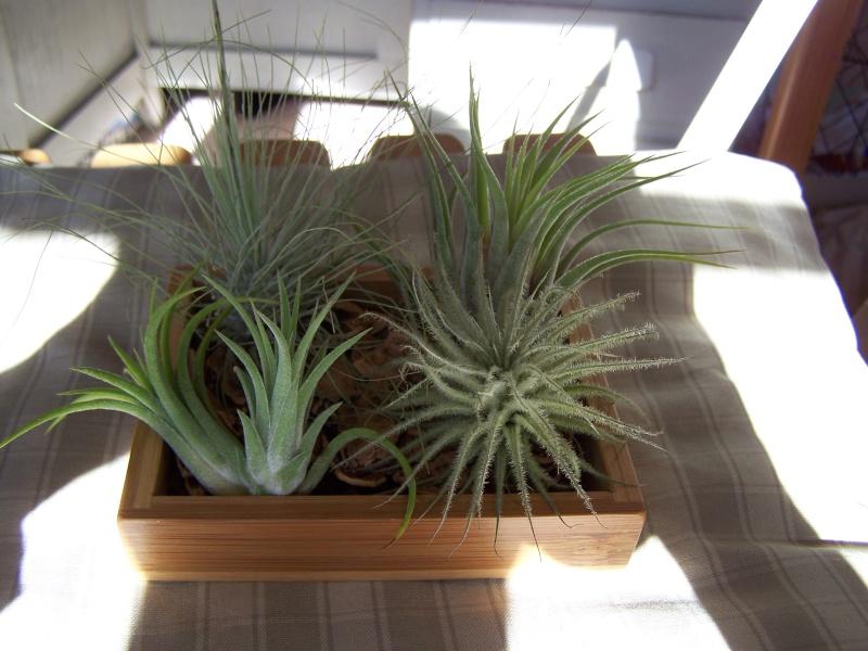 Plantes épiphytes. 100_2412