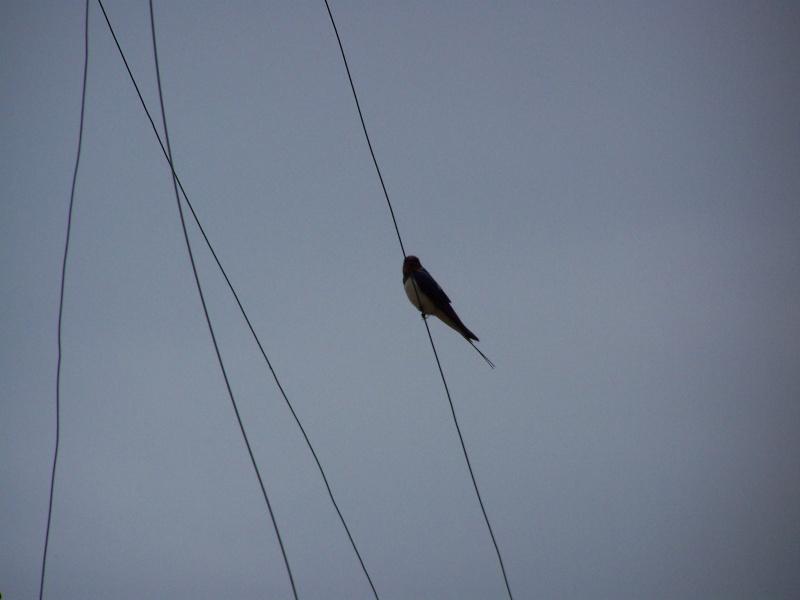 Photographies ornithologiques. 100_2626
