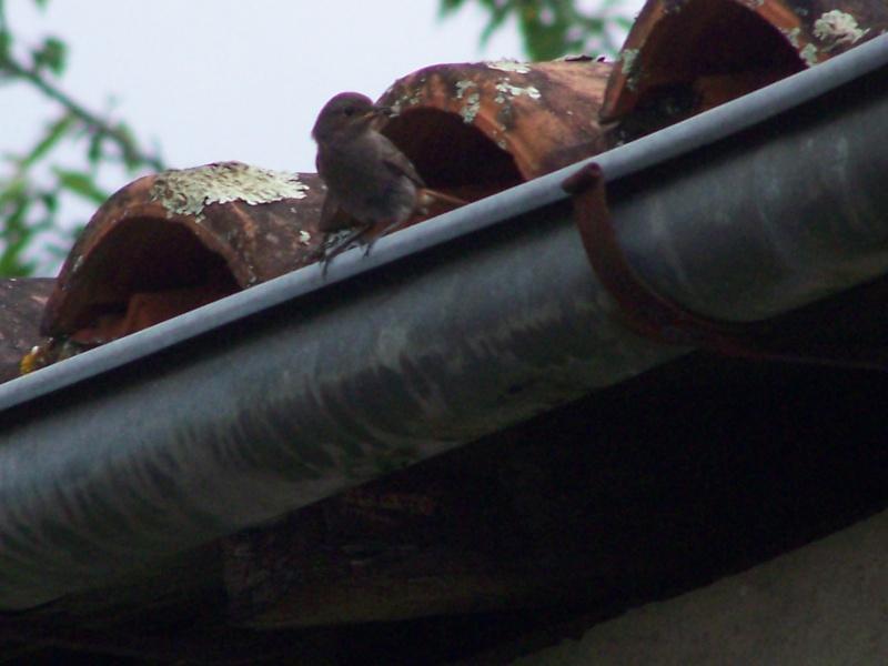Photographies ornithologiques. 100_2822