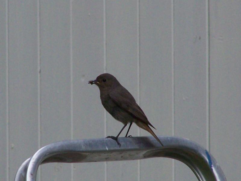 Photographies ornithologiques. 100_2823