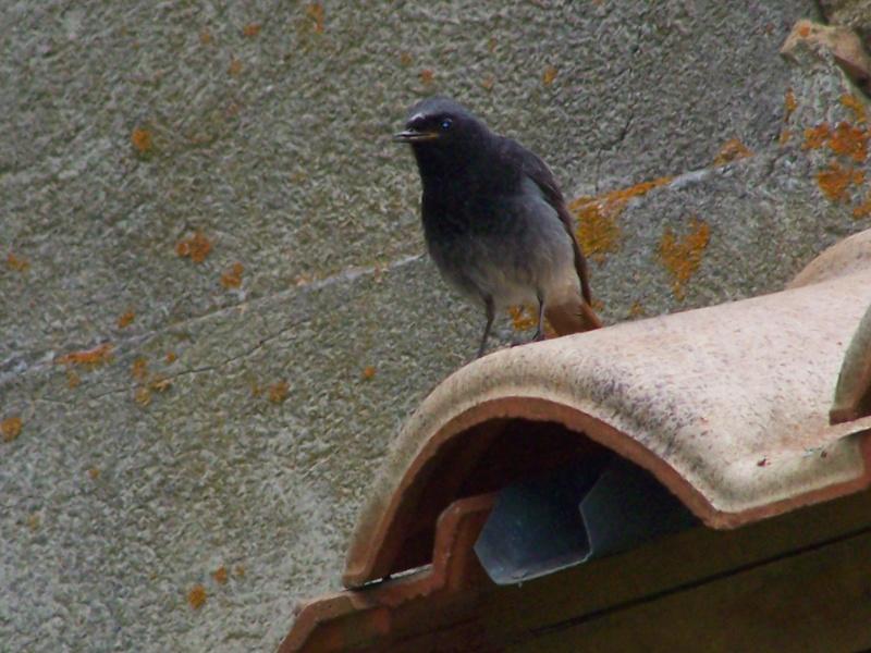 Photographies ornithologiques. 100_2824