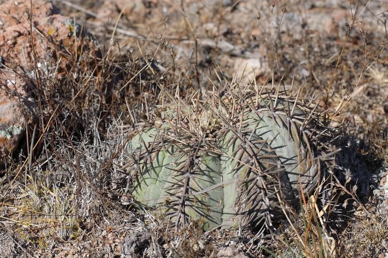 Echinocactus horizonthalonius E_hori10
