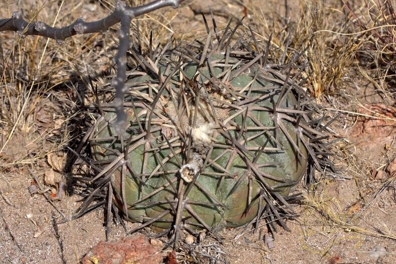 Echinocactus horizonthalonius E_hori11