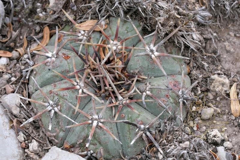Echinocactus horizonthalonius E_hori12