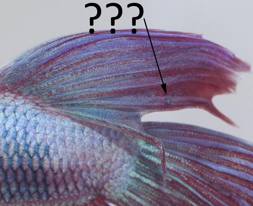 Poux du poisson ou autre parasite /Kyste/saleté tenace sur le voile de Gotcha ?... _mg_5913