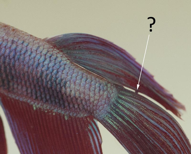 Poux du poisson ou autre parasite /Kyste/saleté tenace sur le voile de Gotcha ?... _mg_5914