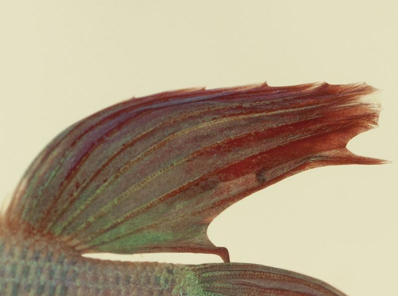Poux du poisson ou autre parasite /Kyste/saleté tenace sur le voile de Gotcha ?... _mg_6010