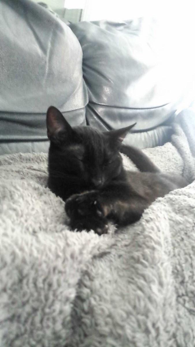 joliot - JOLIOT, chaton européen robe noire, né le 08/09/14 14303110