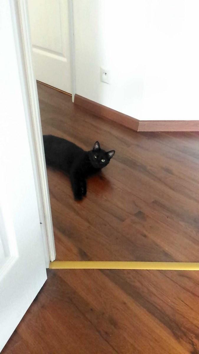 joliot - JOLIOT, chaton européen robe noire, né le 08/09/14 14312610