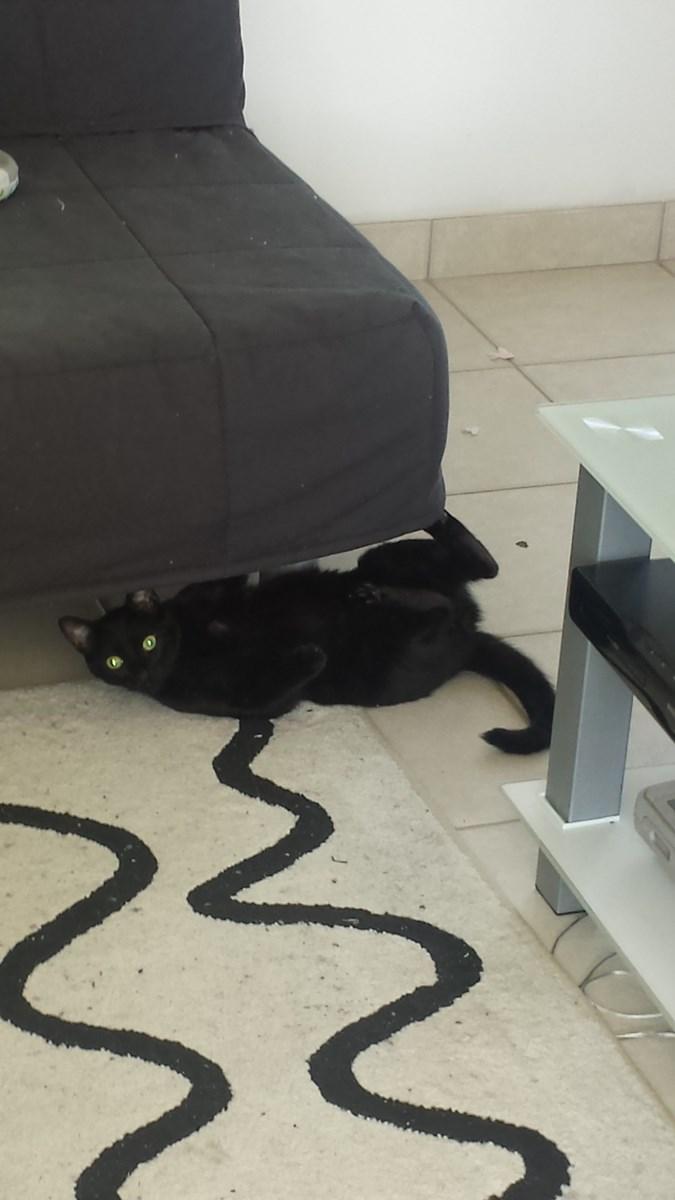 joliot - JOLIOT, chaton européen robe noire, né le 08/09/14 20150510