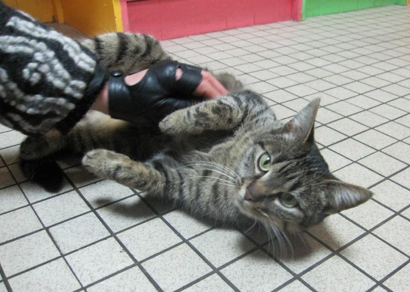 GLAMOUR, chatte européenne tigrée, née en 2011 Glamou11