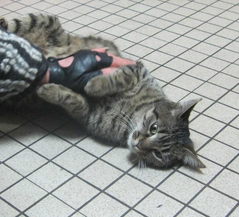 GLAMOUR, chatte européenne tigrée, née en 2011 Glamou12