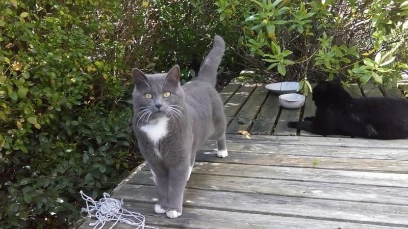JOLICOEUR BIS, chat européen gris et blanc, né en mars 2013 Imag0010