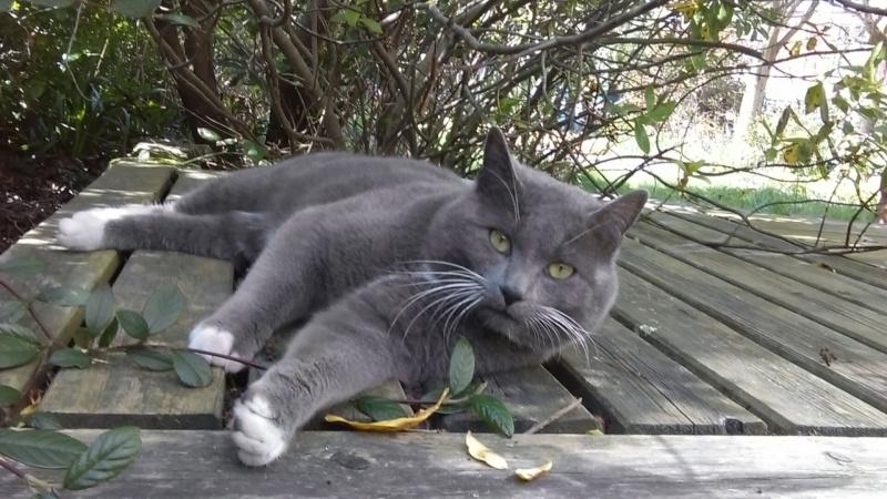 JOLICOEUR BIS, chat européen gris et blanc, né en mars 2013 Imag0012