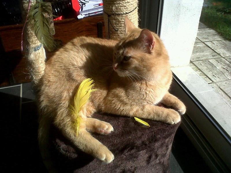 joris - JORIS, chat européen tigré roux, né en mars 2014 Img00210
