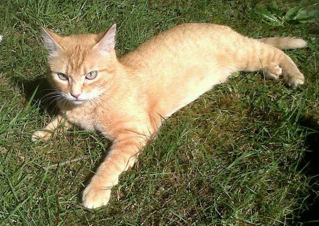 joris - JORIS, chat européen tigré roux, né en mars 2014 Img00310