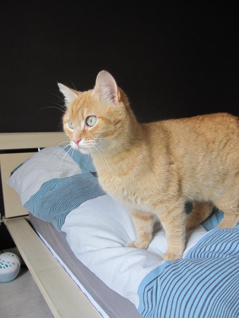 joris - JORIS, chat européen tigré roux, né en mars 2014 Img_1216