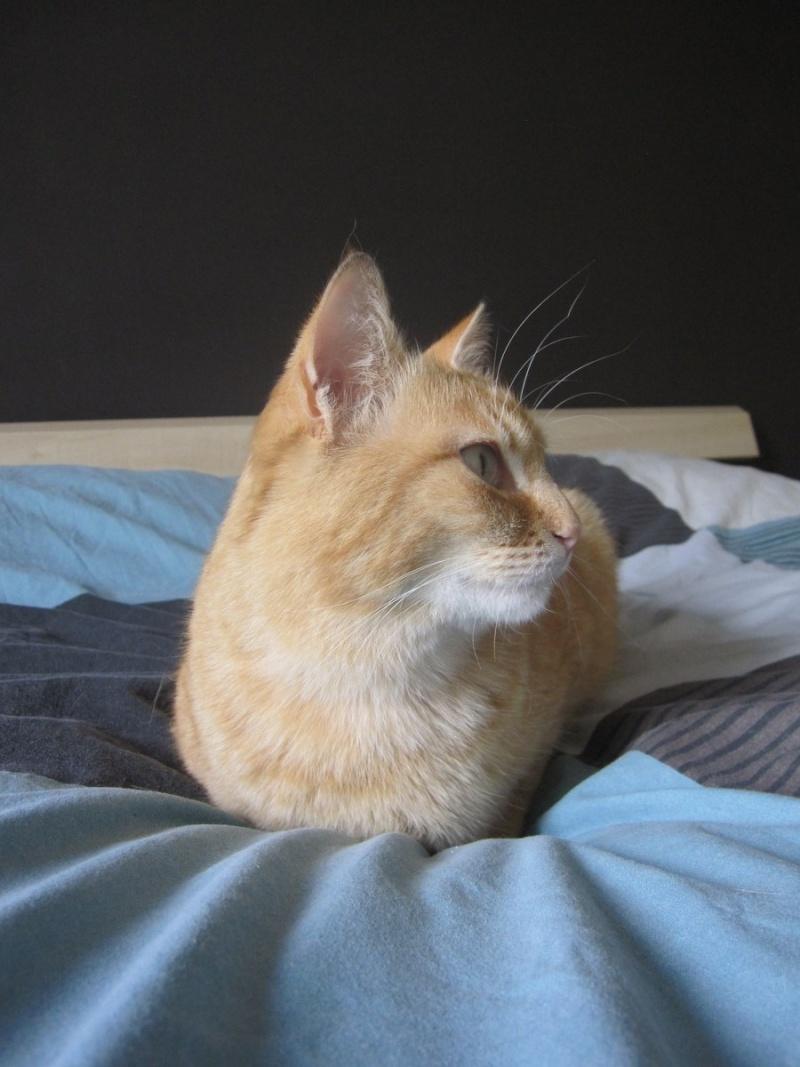 joris - JORIS, chat européen tigré roux, né en mars 2014 Img_1221