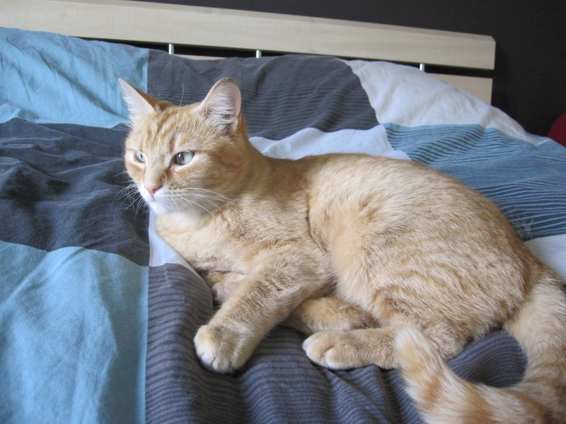 joris - JORIS, chat européen tigré roux, né en mars 2014 Img_1222