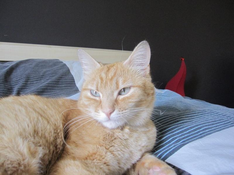 joris - JORIS, chat européen tigré roux, né en mars 2014 Img_1225