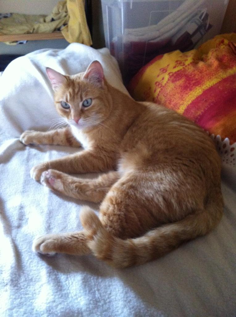 joris - JORIS, chat européen tigré roux, né en mars 2014 Img_1226