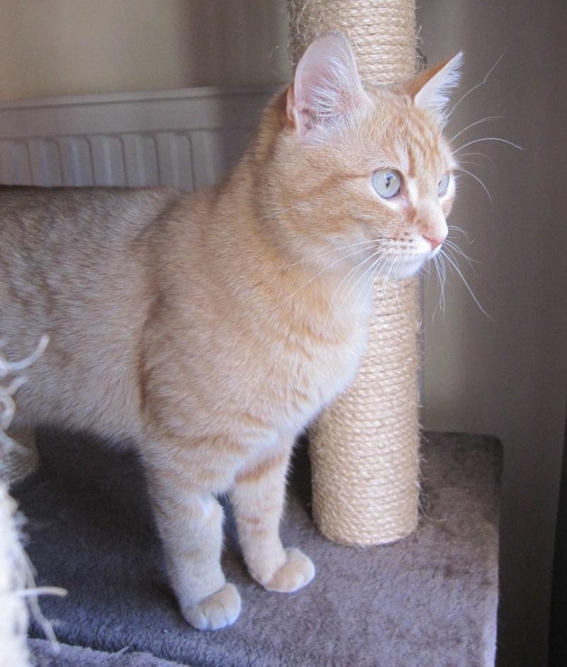 joris - JORIS, chat européen tigré roux, né en mars 2014 Img_1227