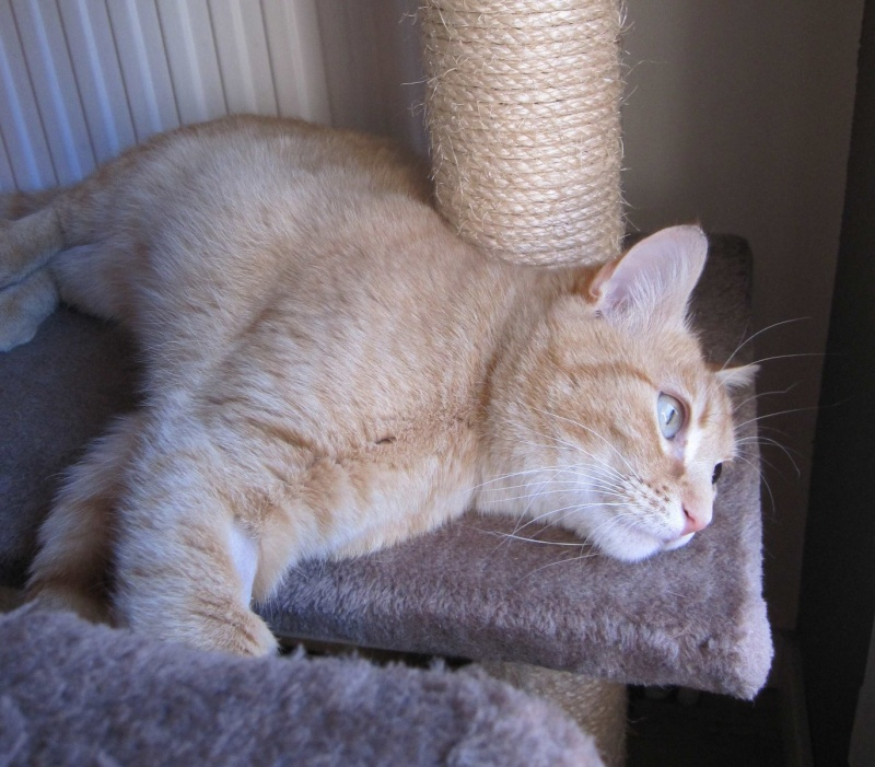 joris - JORIS, chat européen tigré roux, né en mars 2014 Img_1228