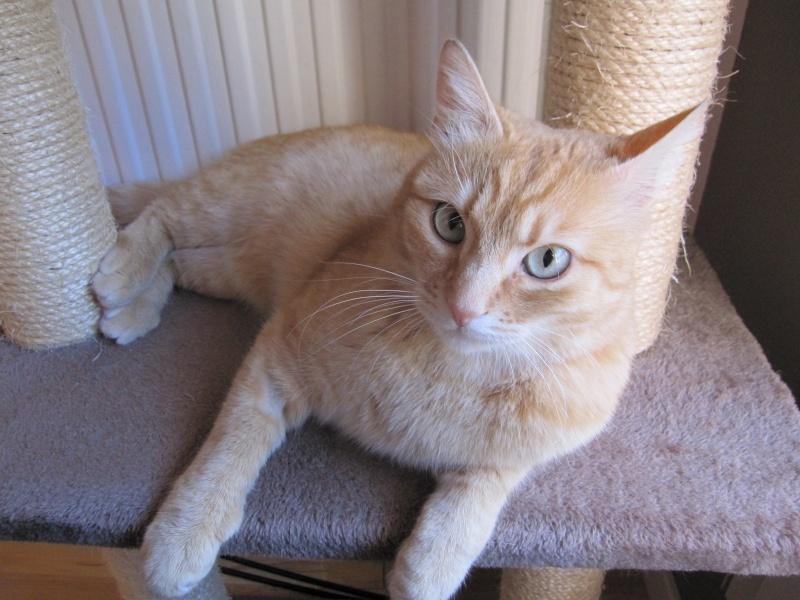 joris - JORIS, chat européen tigré roux, né en mars 2014 Img_1229