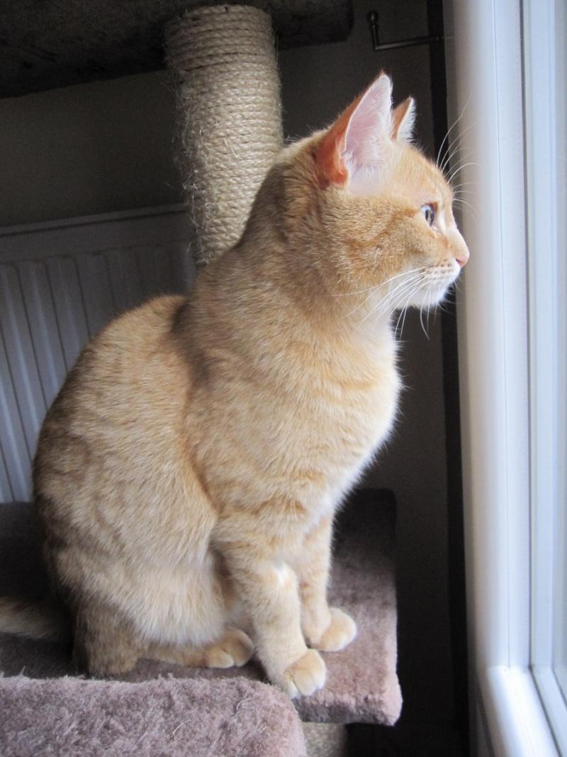 joris - JORIS, chat européen tigré roux, né en mars 2014 Img_1230