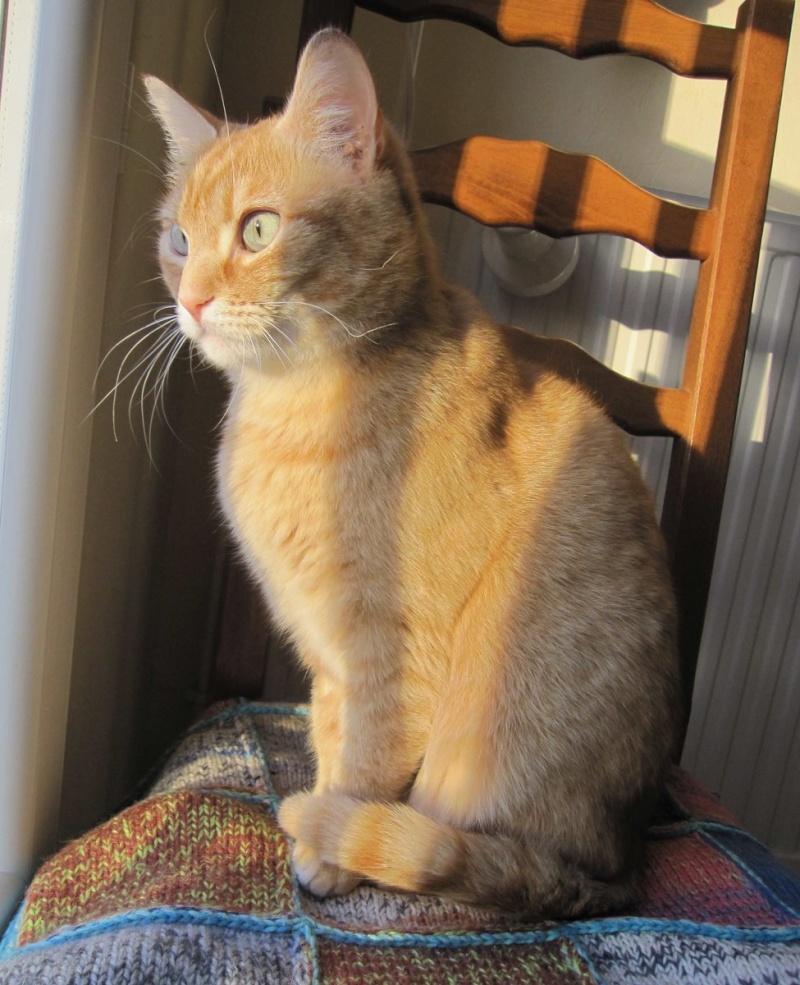 joris - JORIS, chat européen tigré roux, né en mars 2014 Img_1231