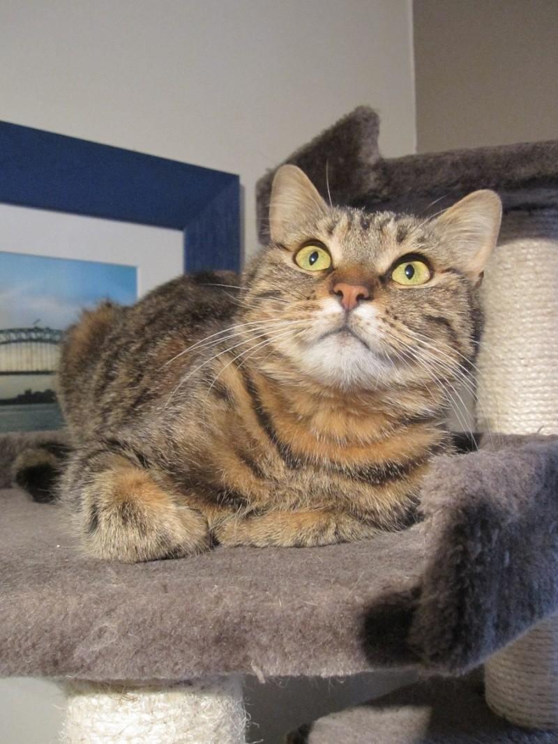 JALANE, chatte européenne tigrée, née en mars 2014 Img_1232