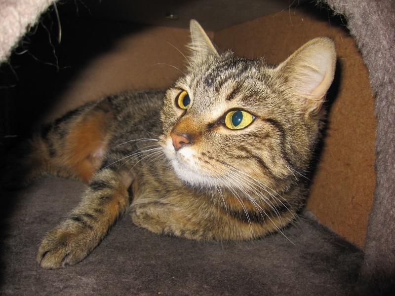 JALANE, chatte européenne tigrée, née en mars 2014 Img_1238