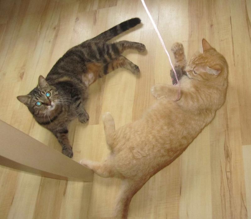 JALANE, chatte européenne tigrée, née en mars 2014 Img_1239