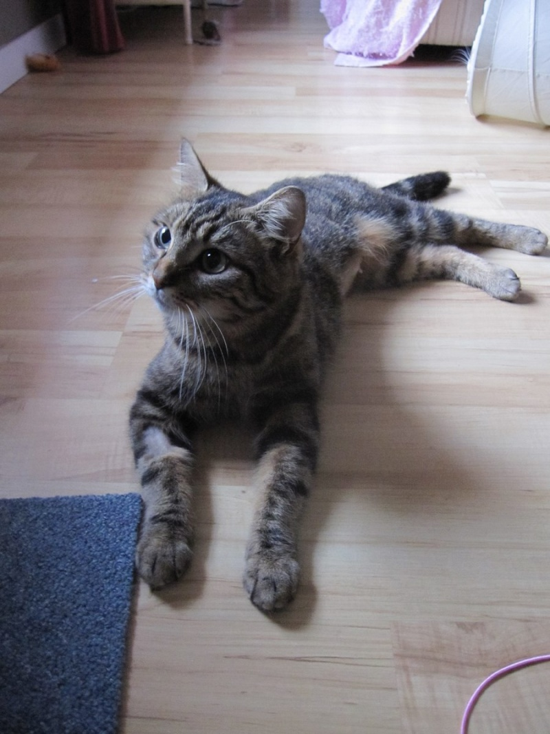 JALANE, chatte européenne tigrée, née en mars 2014 Img_1240