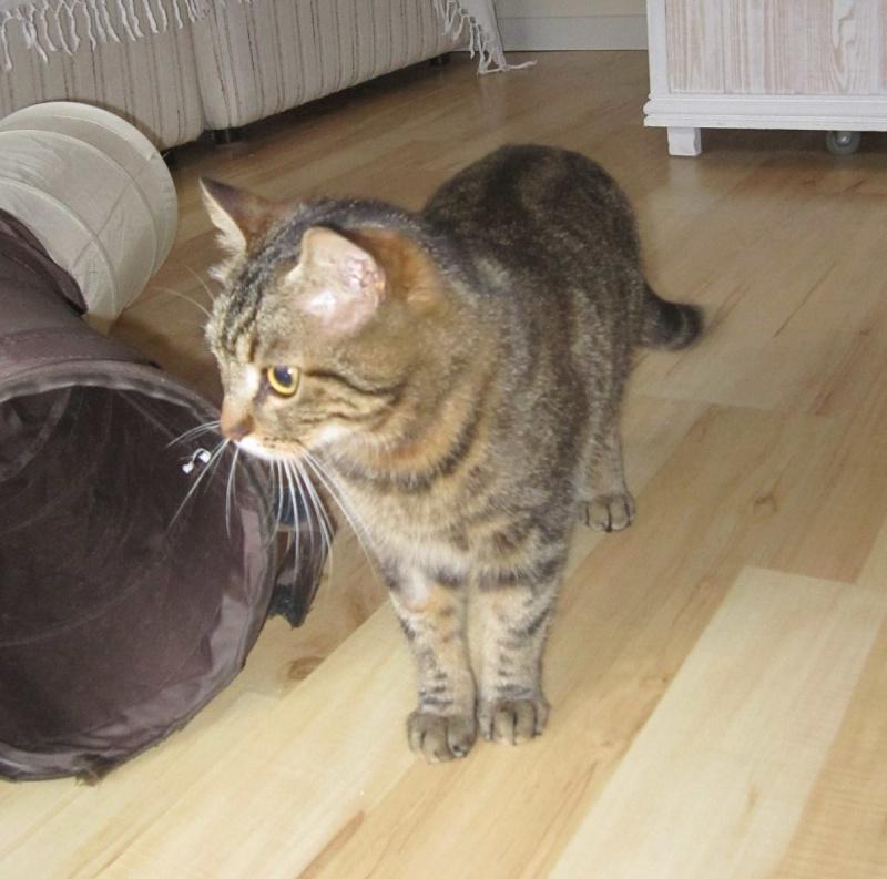 JALANE, chatte européenne tigrée, née en mars 2014 Img_1242