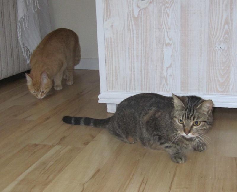 JALANE, chatte européenne tigrée, née en mars 2014 Img_1245