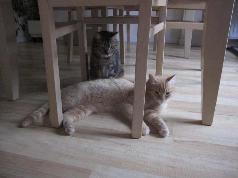 joris - JORIS, chat européen tigré roux, né en mars 2014 Img_1247