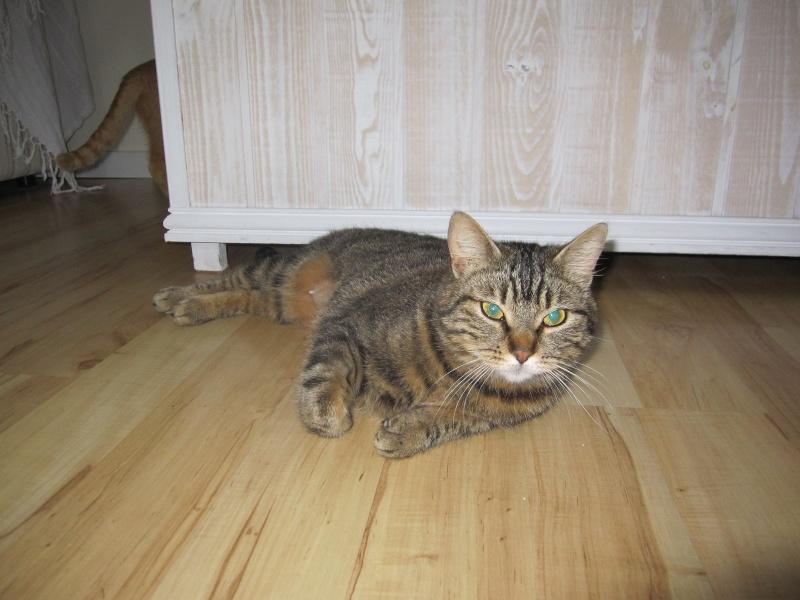 JALANE, chatte européenne tigrée, née en mars 2014 Img_1310