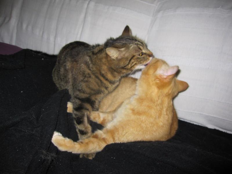 JALANE, chatte européenne tigrée, née en mars 2014 Img_1311