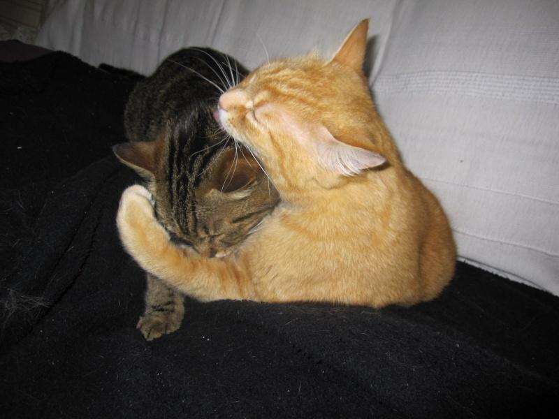 joris - JORIS, chat européen tigré roux, né en mars 2014 Img_1312