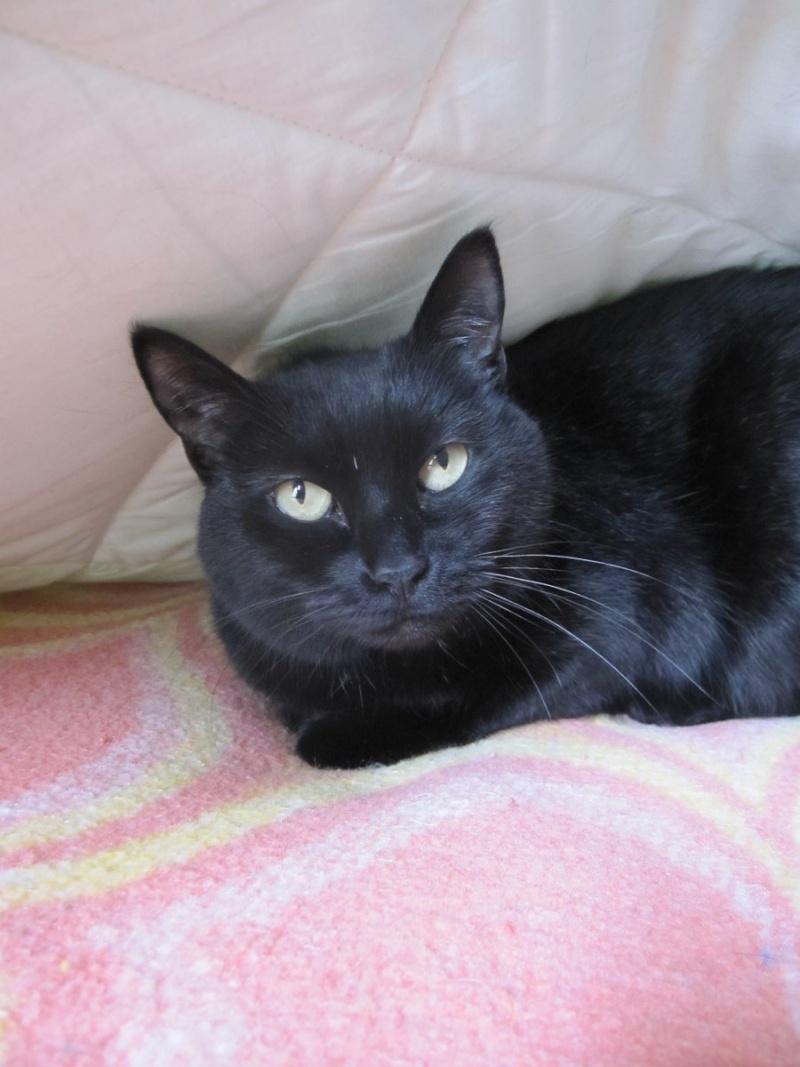 Hania, chatte européenne noire, née en septembre 2012 Img_1517