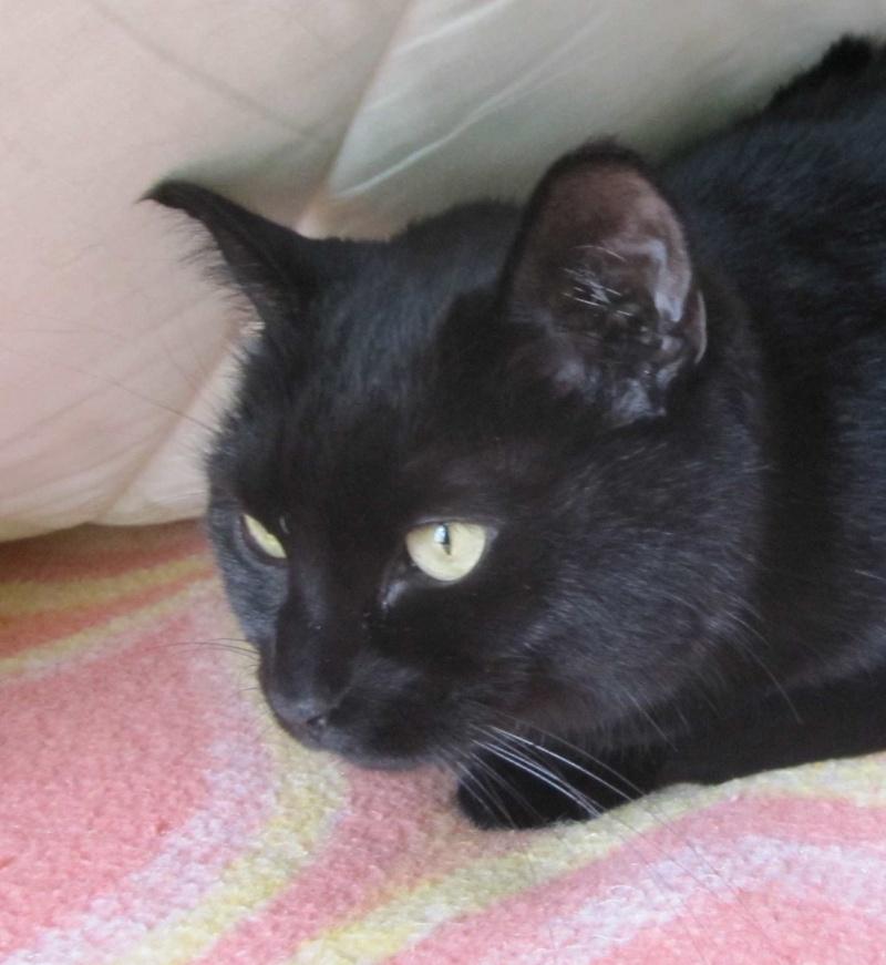 Hania, chatte européenne noire, née en septembre 2012 Img_1518
